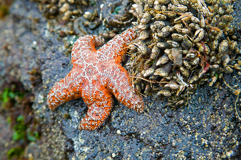 Orange Starfish by Randall Ingalls