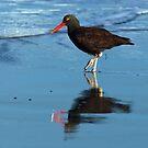 Black Oystercatcher by Randall Ingalls