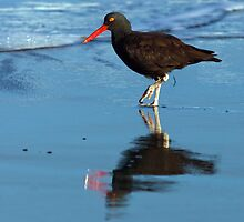 Black Oystercatcher by Randall Ingalls