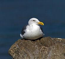 Seagull on a Stump by Randall Ingalls