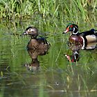 Wood Duck Couple by Randall Ingalls