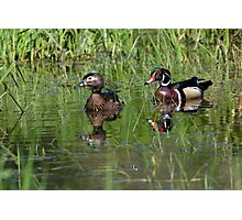 Wood Duck Couple Photographic Print