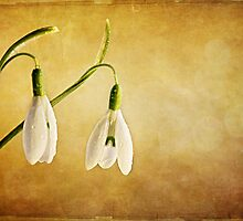 Snow Drops with Dew Drops by Rebecca  Haegele
