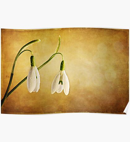 Snow Drops with Dew Drops Poster