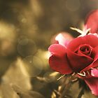 Red Rose Against Sepia and Bokeh by Rebecca  Haegele