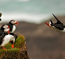 Puffin fly off by toivido