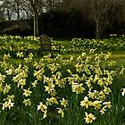 Somewhere to sit amoungst the Daffs by moor2sea