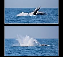 Humpback Breach sequence by Odille Esmonde-Morgan