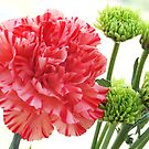 Carnation by kitlew