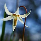Wildflowers #1 (White Fawn Lily, Erythronium oregonum) by Edward A. Lentz