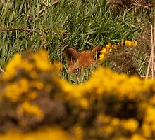 Fox hiding by Jon Lees