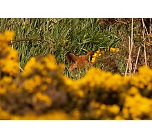 Fox hiding Photographic Print