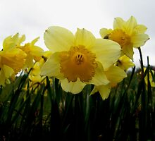 Daffodil Day by Coexistism