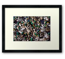 Hungry ducks Framed Print