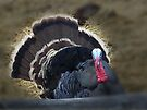 Wild Tom Turkey by BettyEDuncan