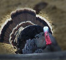 Wild Tom Turkey by © Betty E Duncan ~ Blue Mountain Blessings Photography