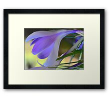 Lavender Crocus - After The Snowstorm Framed Print