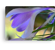 Lavender Crocus - After The Snowstorm Canvas Print