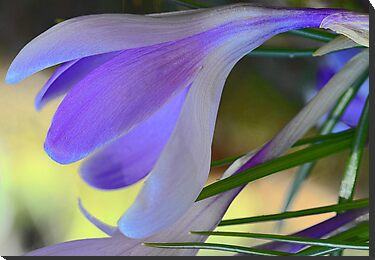 Lavender Crocus - After The Snowstorm by T.J. Martin
