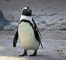 African Penguin by RebeccaBlackman