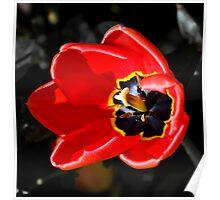 Tulip Sq Poster