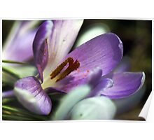 Lavender Crocus - Battered By The Storm Poster