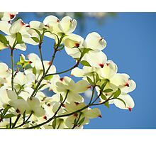 Floral art White Dogwood Tree Flowers Blue Sky Baslee Troutman Photographic Print