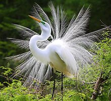 Great White Egret by Paulette1021
