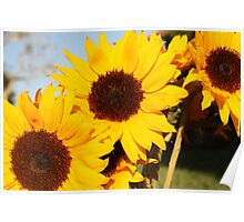 Sunflowers at Sunset 2 Poster
