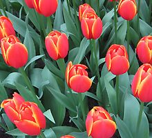 Orange with Yellow Edged Tulips by Patricia127