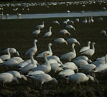 Who needs a Field of Dreams when you can have a Field of Geese? by MischaC