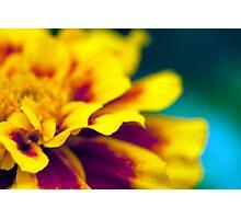 Fiery tu-tu (marigold) Photographic Print