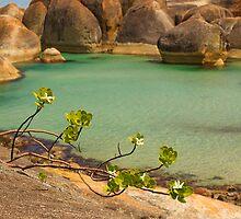 Sticky Tail Flowers (Anthoceris Viscosa) - Elephant Rocks, William Bay National Park  WA by Chris Paddick