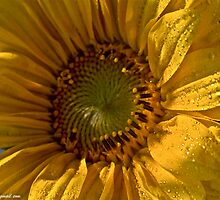 Let the Sunshine In  -  Sunflower.  by Brown Sugar. Views (168)  favorited by (3)Thanks ! by © Andrzej Goszcz,M.D. Ph.D