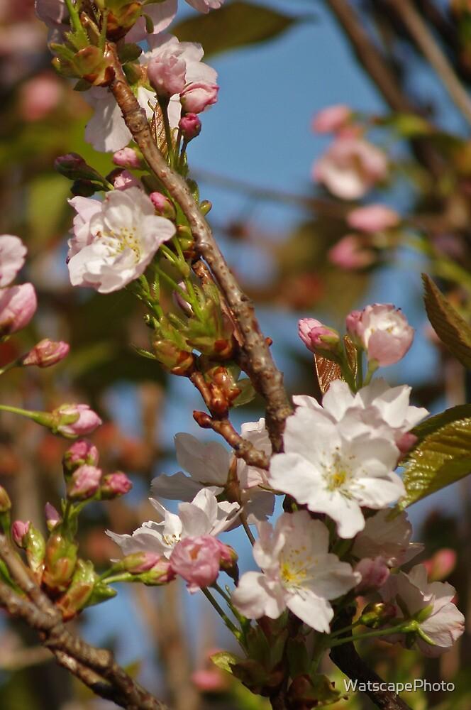 Prunus Amanogawa by WatscapePhoto