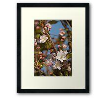Prunus Amanogawa Framed Print