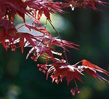 Acer palmatum 'Atropurpureum' by WatscapePhoto