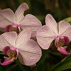 ORCHIDS by paulinea
