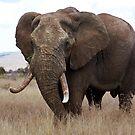 Loxodonta africana by Sassie Otto