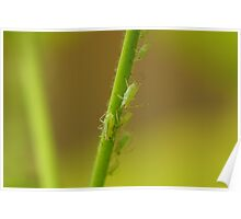 Aphids Poster