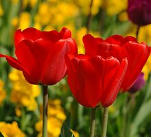 Tulip Family by sjlphotography