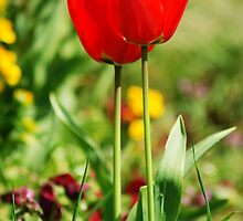 Intertwined Tulips by sjlphotography
