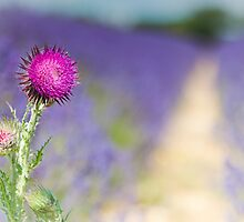 Thistle in lavendar by herbpayne