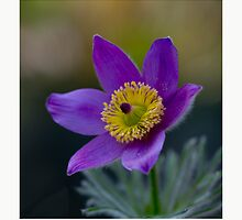 Pasque Flower 2 by J-images