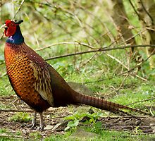 Pheasant by Roger Hall