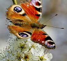 Peacock Butterfly by Roger Hall