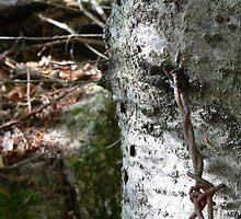 barb wire and birch by kevin livingston