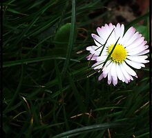 Purple, daisy by Kez90
