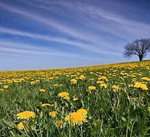 Dandelion Spring Panorama by Angie Latham