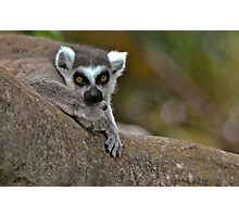Ring Tailed Lemur Photographic Print